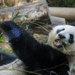 戦略(1)「客寄せパンダ」